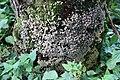 Pilzfruchtkörper an einem Baumstamm in der Rhön II.jpg