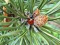 Pinales - Pinus jeffreyi and a Coccinella septempunctata - 4.jpg