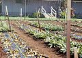 Pineapple root rot phytophthora cinnamomi (5829323399).jpg