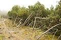 Pines - panoramio - Laima Gūtmane (simka….jpg
