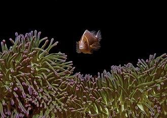 Pink skunk clownfish - Image: Pink anemonefish BWP