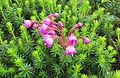 Pink mountain heather flowering - Flickr - brewbooks.jpg