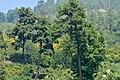Pinus brutia - Kızılçam - Turkish pine 04.JPG