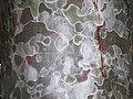 Pinus gerardiana India7.jpg