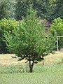 Pinus silvestrys.jpg
