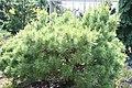Pinus strobus Vanderwolfs Green Globe 0zz.jpg