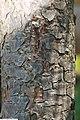 Pinus sylvestris 17zz.jpg