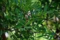 Pistacia lentiscus in Jardin des Plantes de Toulouse 04.jpg
