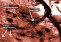 Placa Neuromuscular.png