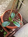Plants at Bijalinagar 15.jpg