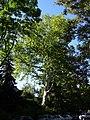 Platane naturdenkmal 418 1.JPG