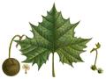 Platanus occidentalis N.Amer.Sylva.png