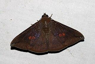 <i>Platyja umminia</i> species of insect