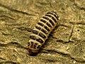 Pleasing Fungus Beetle Larva (29032519932).jpg