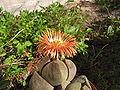 Pleiospilos nelii flower.jpg