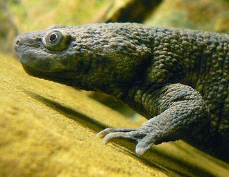 Iberian ribbed newt - Pleurodeles waltl in an aquarium.