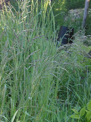 Poa trivialis - Image: Poa trivialis Ruwbeembgras bloeiwijze