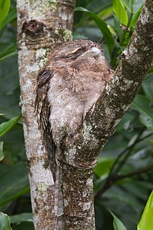 photo of a frogmouth in a tree