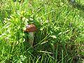 Podosinovik krasnij v trave.jpg