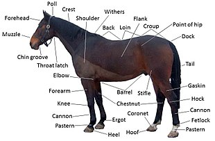 Diagram of a horse with some parts labeled.