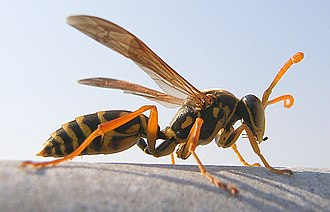 Polistes - Polistes chinensis antennalis, Asian paper wasp has established itself as a pest species in New Zealand.
