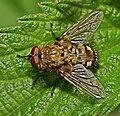 Pollenia.sp.1.jpg