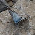 Polyommatus-20160610.jpg