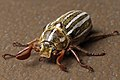 Polyphylla decemlineata aka Ten-lined June beetle 2015-05-21.jpg
