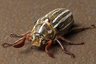 Ten-lined June beetle species of insect