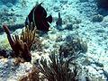 Pomacanthus paru juvenil, islas Vírgenes.jpg