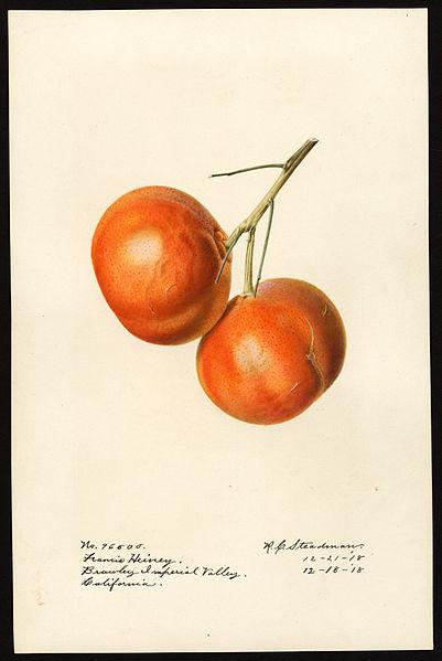 File:Pomological Watercolor POM00006443.jpg