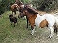 Poney, bélier (Rams) et cheval (Bay tobiano).jpg