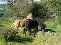 Ponies at Fron Farm, near Llanfynydd - geograph.org.uk - 557283.jpg