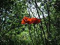 Poppy, Aghveran-1.jpg