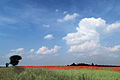 Poppy Field - geograph.org.uk - 474782.jpg