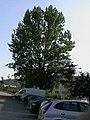 Populus a161527.JPG