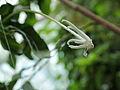Posoqueria longiflora-IMG 3455.jpg