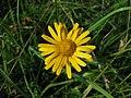 Primožek (Buphthalmum salicifolium) (3787831736).jpg