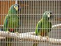 Primolius maracana -Paphos Zoo -aviary-6.jpg