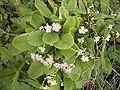 Primula vulgaris 02-05-2006 13.58.40.JPG