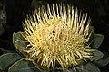 Protea nitida 5Dsr 8291.jpg