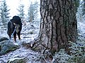 Protected old pine - panoramio.jpg