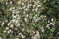 Prunus fruticosa (Zwerg-Weichsel) IMG 8666.JPG