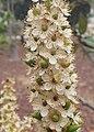 Prunus lusitanica kz05.jpg