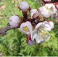 Prunus mandshurica DYK1.jpg