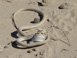 <i>Psammophis lineolatus</i> species of reptile