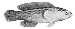 Pseudochromis tapeinosoma male