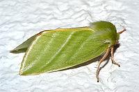 Pseudoips prasinana2.jpg