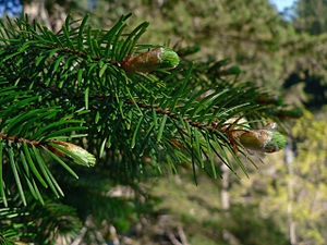 Pinophyta - Pinaceae: needle-like leaves and vegetative buds of Coast Douglas fir (''Pseudotsuga menziesii'' var. ''menziesii'')