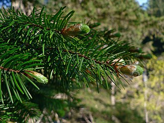 Pinophyta - Pinaceae: needle-like leaves and vegetative buds of Coast Douglas fir (Pseudotsuga menziesii var. menziesii)